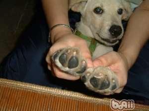 定期为狗狗修剪指甲的好处-狗狗美容